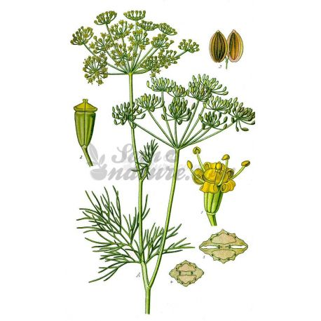 Llavors de anet COMPLETA IPHYM Anethum graveolens L. Herboristeria