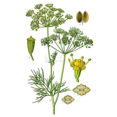 Semillas de eneldo COMPLETA IPHYM Anethum graveolens L. Herboristería