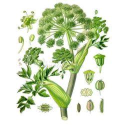 ANGELIQUE FRUIT ENTIER IPHYM Herboristerie Angelica archangelica