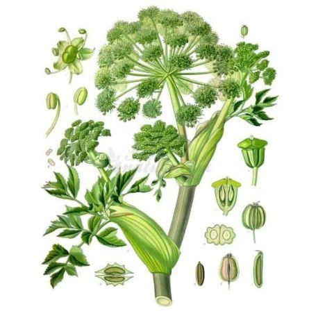 ANGELIQUE fruita sencera IPHYM Herboristeria Angelica archangelica