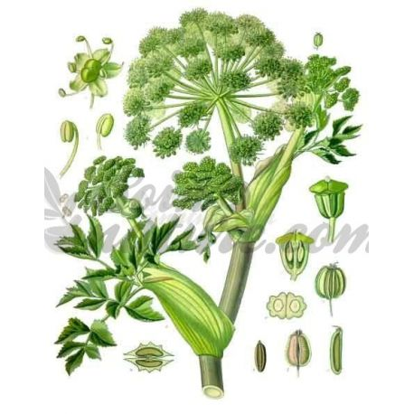 ANGELIQUE WHOLE FRUIT IPHYM Herbalism Angelica archangelica
