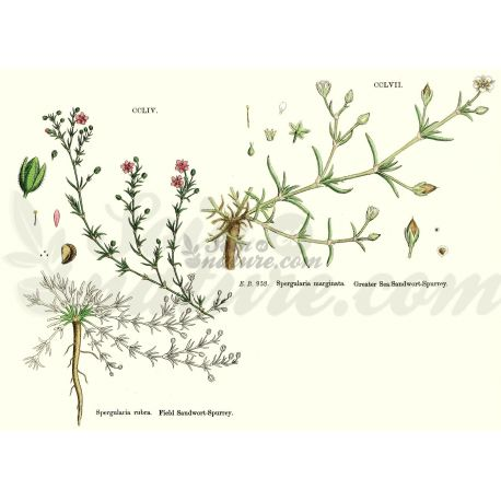 ARENARIA RUBRA (Sabline) PLANT CUT IPHYM Kräuterkunde Arenaria rubra