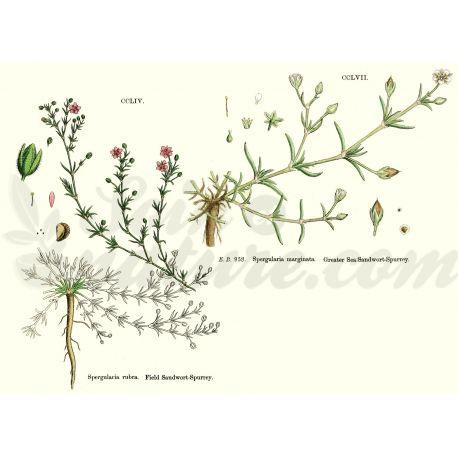 ARENARIA RUBRA (SABLINE) PLANTE COUPEE IPHYM Herboristerie Arenaria rubra