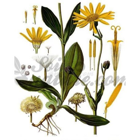 ARNICA FLEUR ENTIERE IPHYM Herboristerie Arnica montana L.