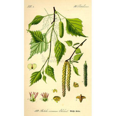 BOULEAU FEUILLE COUPEE IPHYM Herboristerie Betula alba L.
