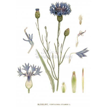 Blueberry - Blütenblatt ganze Packung 100 g
