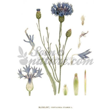 BLEUET PETALE ENTIERE IPHYM Herboristerie Centaurea cyanus L.