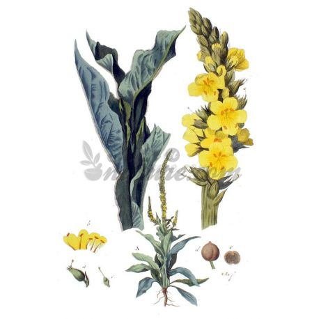 Mullein - Full Flower Package 250 g