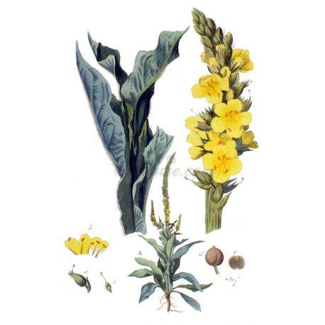 Bouillon blanc Fleur entière IPHYM Herboristerie Verbascum thapsus