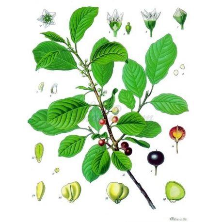 BOURDAINE ECORCE COUPEE IPHYM Herboristerie Rhamnus frangula L.