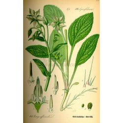 BOURRACHE SOMMITE COUPEE IPHYM Herboristerie Borago officinalis L.