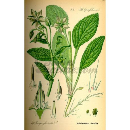 BORRAGINE luminare CUT IPHYM Herbalism Borago officinalis L.