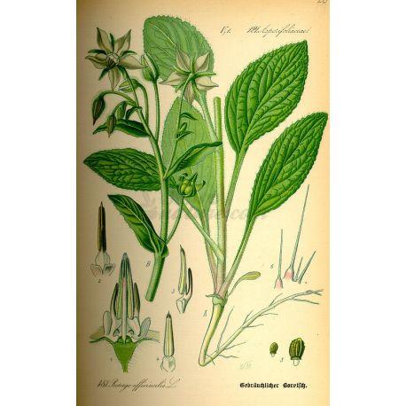 Lluminària BORRATJA CUT IPHYM Herboristeria Borago officinalis L.