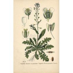 BOURSE A PASTEUR PLANTE COUPEE IPHYM Herboristerie Capsella bursa-pastoris L.