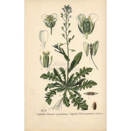 Pasteur monedero - cortó Plante Paquete de 250 g