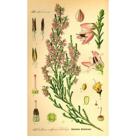 BRUYERE FLEUR MONDEE IPHYM Herboristerie Calluna vulgaris