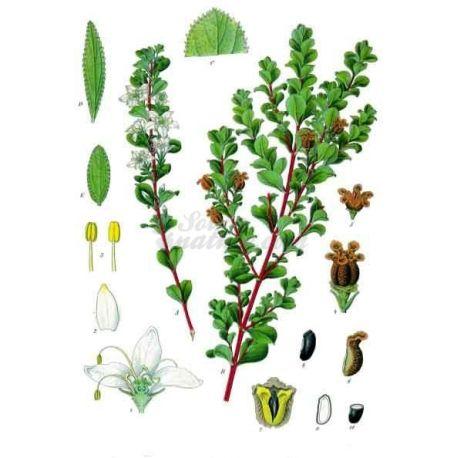 SCHEDA COMPLETA BUCHU IPHYM Herbalism Barosma betulina