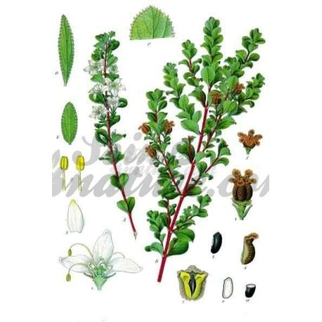 FITXA COMPLETA buchu betulina IPHYM Herboristeria Barosma