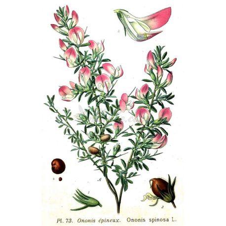 Bugrane ADOTTATI BUF ROOT CUT IPHYM Herbalism Ononis spinosa L.