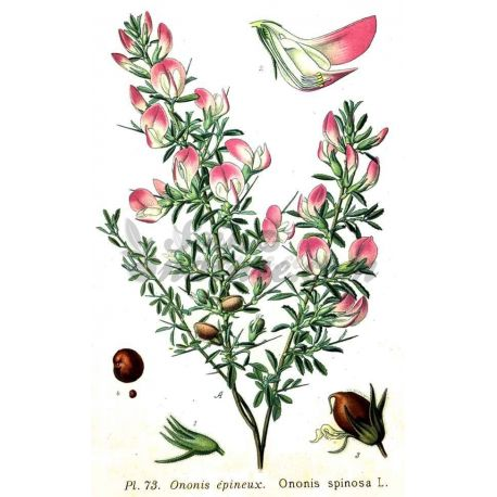 BUGRANE Arrête-bœuf racine coupée IPHYM Herboristerie Ononis spinosa L.