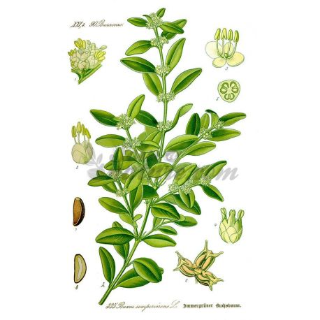 BUIS FEUILLE ENTIERE IPHYM Herboristerie Buxus sempervirens L.