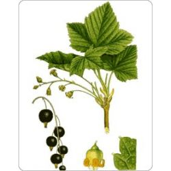 Cassis Feuille IPHYM Herboristerie Ribes nigrum L.