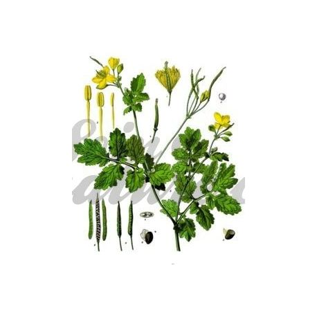 CELANDINE PLANT CUT IPHYM Kräuterkunde Chel