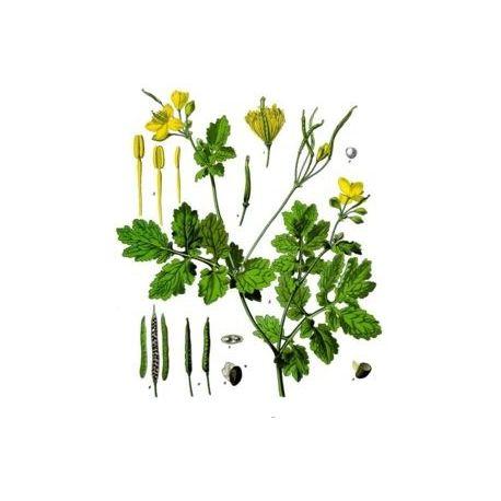 CHELIDOINE PLANTE COUPEE IPHYM Herboristerie Chelidonium majus L.