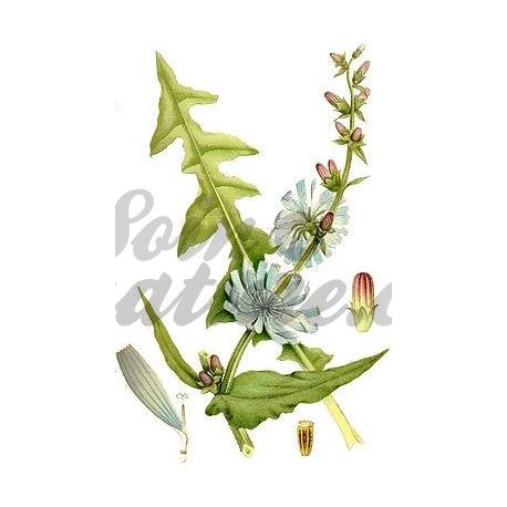 Corte Achicoria IPHYM Herboristería Cichorium intybus Hoja