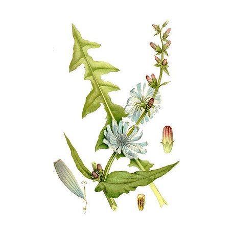 Losse vellen Herb Witlof Cichorium intybus IPHYM