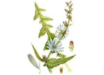 Achicoria: hojas y flores.