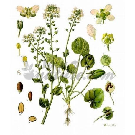 Cochlearia Cut Folha officinalis IPHYM Herbalism Cochlearia