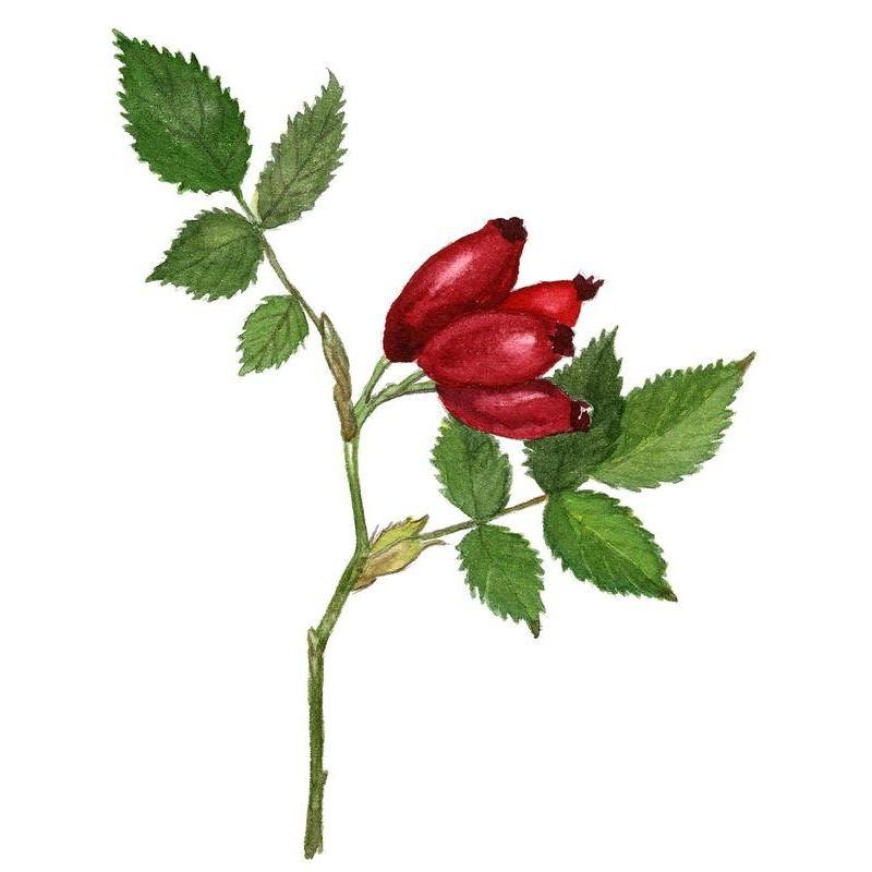 cynorrhodon eglantier baie iphym herboristerie rosa canina l. Black Bedroom Furniture Sets. Home Design Ideas