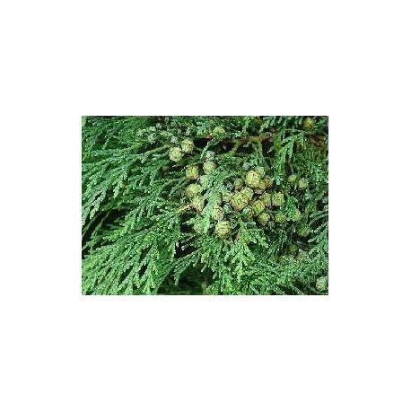 CYPRESS SCHIACCIATO sempervirens NUTS IPHYM Herbalism Cupressus