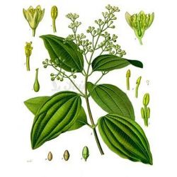 CEYLON CINNAMON PIPE 0 CM IPHYM Herbalism Cinnamomum zeylanicum
