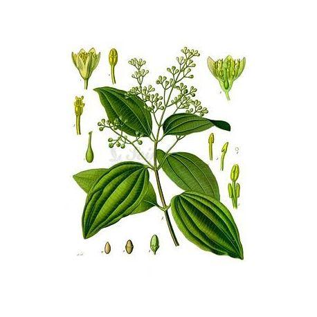 Ceylon-Zimt PIPE 0 CM IPHYM Kräuterkunde Cinnamomum zeylanicum