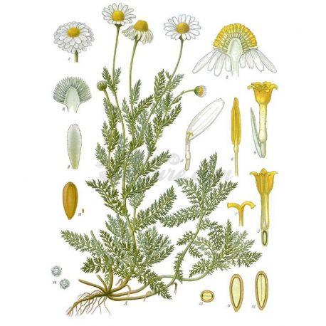 Camomille Romaine Capitule floral entier IPHYM Herboristerie Anthemis nobilis