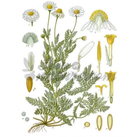 Camomille Romaine Capitule floral entier IPHYM Herboristerie Anthemis nobilis