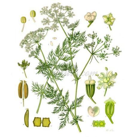 CARVI FRUIT IPHYM Herboristerie Carum carvi L.