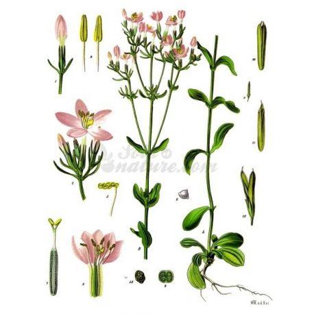CENTAUREE Plante coupée IPHYM Herboristerie Centaurium erythraea