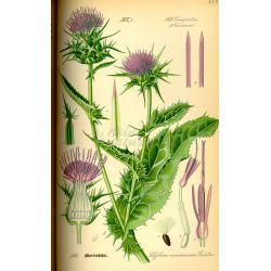 Planta de cardo mariano Silybum marianum Herboristería CUT IPHYM L.