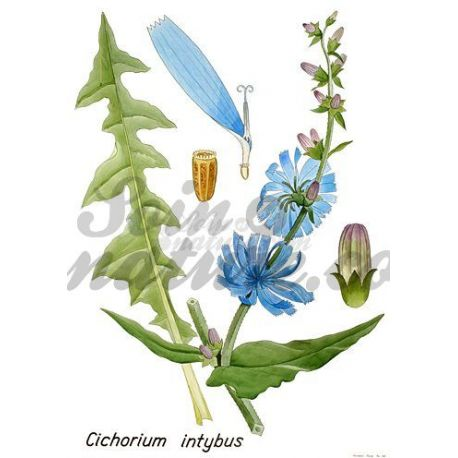 Chicoree ROOT CUT IPHYM Herbalism Cichorium intybus