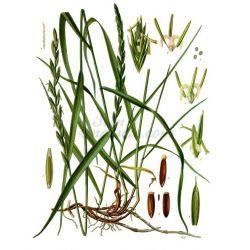 El pasto de trigo - paquete Rizoma corte 250 g