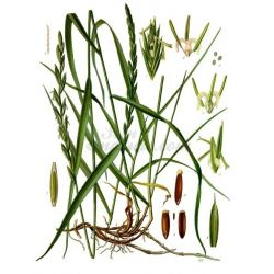 CHIENDENT PETIT RHIZOME COUPE IPHYM Herboristerie Agropyron repens L.