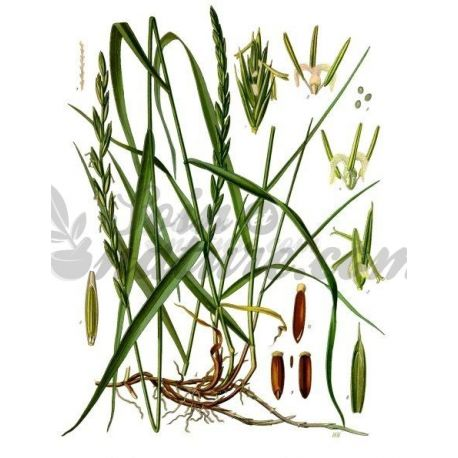 Weizengras - Rhizome Schnitt 250 g Packung