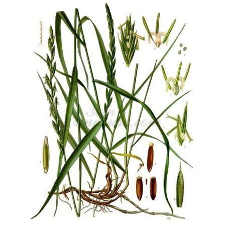 Wheatgrass - Rhizome cut pack 250 g