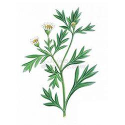 Chrysanthellum IMPIANTO TAGLIO IPHYM Herbalism Chrysanthellum americanum