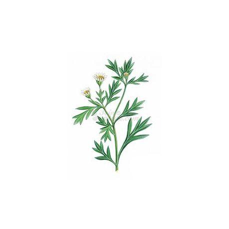 CHRYSANTHELLUM PLANTE COUPEE IPHYM Herboristerie Chrysanthellum americanum