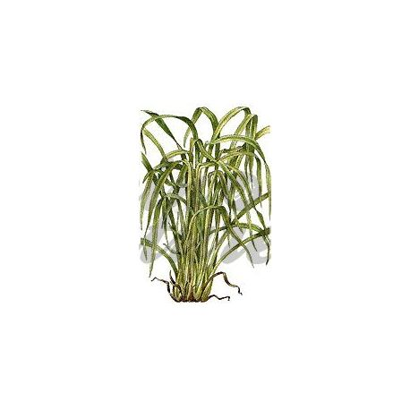 Lemon Leaf CUT IPHYM Kräuterkunde Cymbopogon flexuosus