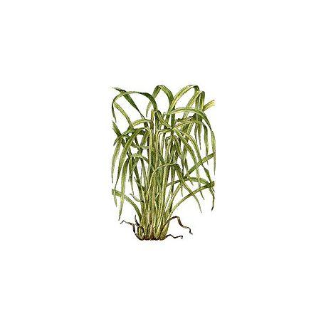 LIMÓN LEAF CUT IPHYM Herboristería Cymbopogon flexuosus